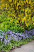 Yellow laburnum tree in spring garden — Stock Photo