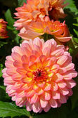 Pink and yellow dahlia flowers — ストック写真