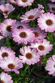 Purple and white osteospermum flowers — Stock Photo