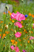 Pink poppy flower garden — Stock Photo
