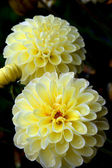 Beautiful yellow dahlia flowers — Stock Photo