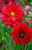 Red dahlias covered with raindrops — Stock Photo