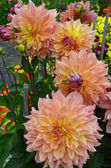 Pink and orange dahlias — Stock Photo