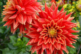 Orange dahlias and raindrops — Stock Photo