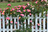 Pink roses and white picket fence — Stock Photo