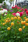 Colorful dahlia garden in summer — Stock Photo