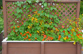 Nasturtiums growing on trellis — Stock Photo