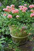 Pink geranium flower planter — Stock Photo