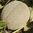 Cantaloupe — Stock Photo #12365821