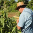 Sampling sweet corn — Stock Video