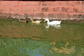 Swimming Duck Trio — Stock Photo