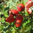 Red Rose Hips - Foto Stock