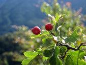 クランベリーの森 — ストック写真