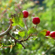 Cranberry forest — Stock Photo