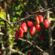 Red Rose Hips — Stock Photo