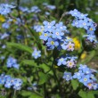 Forget me not — Stock Photo #17417433