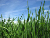 Beautiful green grass under blue sky with sun — Stock Photo