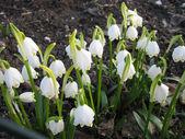Blommande liljekonvalj i vårträdgård — Stockfoto
