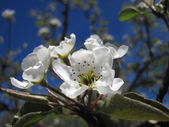 Blooming white cherry flowers on branch, on blue sky — Stock Photo