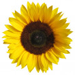 The sunflower isolated on white background with a clipping path — Stock Photo