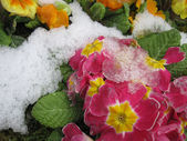 The Blooming Flowers In Spring Time With A Snow — Stock Photo