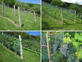 Vineyard - Four Seasons — Stock Photo