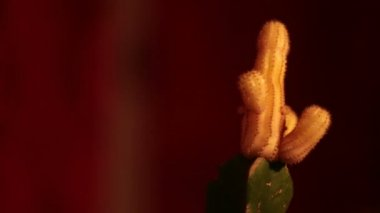 Nasty Cactuses in and out of focus (here: male) — Vídeo de stock
