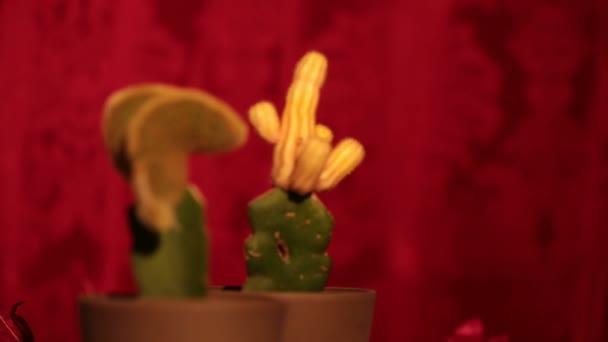 Cactus desagradables dentro y fuera de foco (aquí: masculino y femenino) — Vídeo de stock