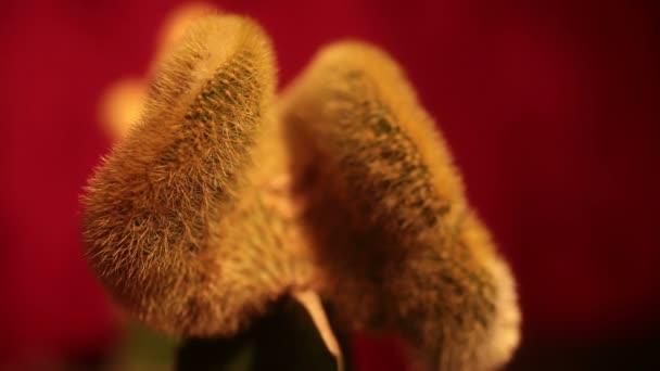 Cactus desagradables dentro y fuera de foco (aquí: mujer) — Vídeo de stock