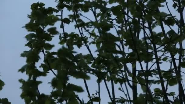 Ramas y hojas en la hora azul — Vídeo de stock