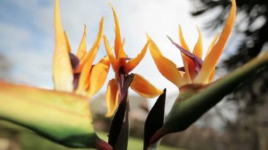 Bird of paradise (Strelitzia) - pt2 — Vídeo de stock
