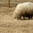 Sheep grazing in a field — Stock Photo