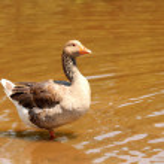 Domestic goose — Stock Photo #25993587