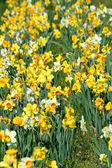 Patch of daffodils — Stock Photo