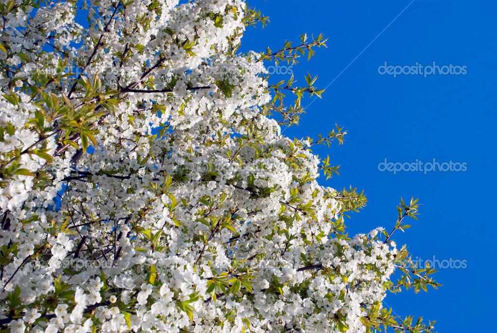 春天树上开的白色花