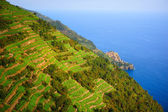 Vines on the hillside in Italy — Stock Photo