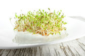 Sprouted seeds of alfalfa ( Medicago, lucerne) on a white plate — Stock Photo