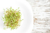 Sprouted grains of alfalfa — Stock Photo
