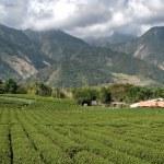Tea farm — Stock Photo #2022554