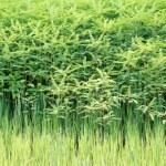 Fresh tea bushes — Stock Photo