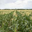 Corn maize farm — Stock Photo