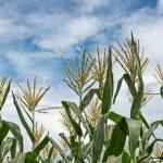 Corn maize farm — Stock Photo #31260889