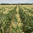 Stock Photo: Corn maize farm