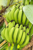 Bunch of ripening bananas — Stock Photo