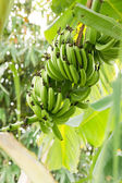 Bunch of ripening bananas — Stock Photo