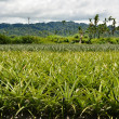 Pineapple farm — Stock Photo