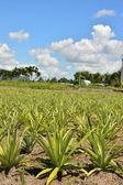 Pineapple farm — Stock Photo
