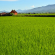 Rice farm in country — Stock Photo