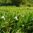 Ginger lily farm — Stock Photo