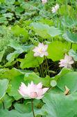 Lotus flower — ストック写真